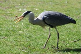 Photo of a gray heron