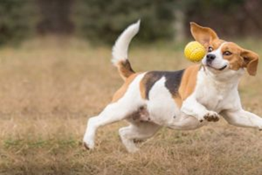 beagle dog playing fetch in an open field